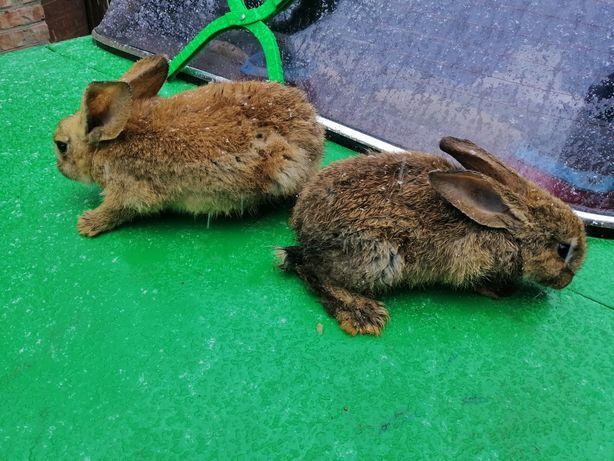 Кроленята 2-х місячні