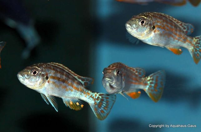 Pyszczak Melanochromis joanjohnsonae