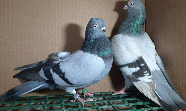 Gołębie ozdobne różne
