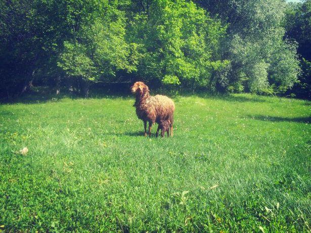 Барани, вівці, ягнята