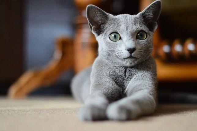 Pilne! Zaginął kot rosyjski niebieski!!! Nagroda!