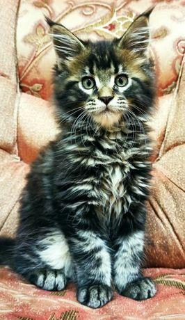 Продам котика мейн-кун