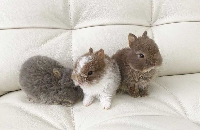 KIT Coelhos anões mini teddy, holandês mini e angorá lindíssimos