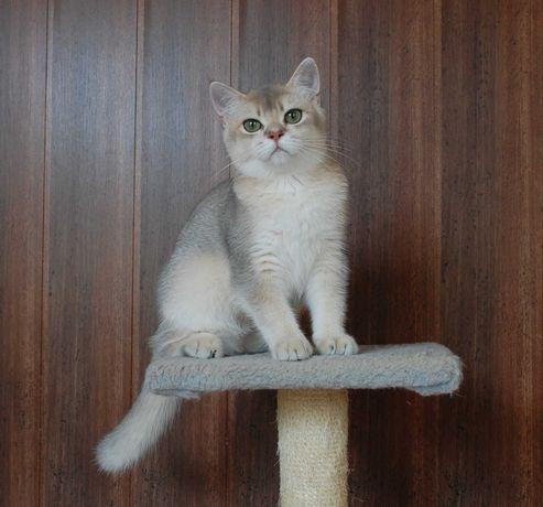 Британская короткошерстная. Шиншилловый котик на продажу