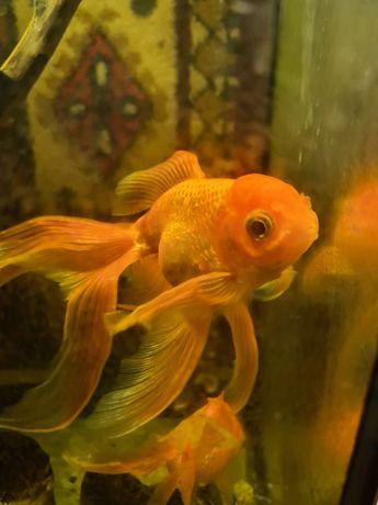 Золотая рыбка самец