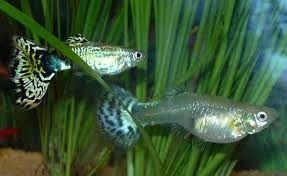 Аквариумные рыбы, Гуппи