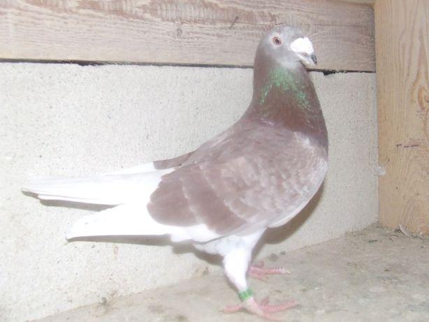 Gołąbki od Mariana nr 36 - gołębie staropolskie