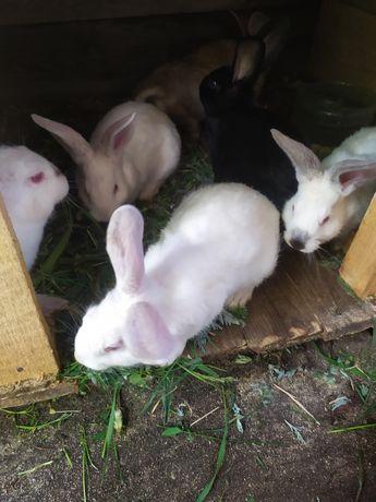 Продаються кроликі
