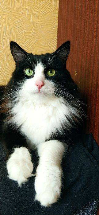 отдам кастрированного красавца-кота в хорошие руки Запорожье - изображение 1