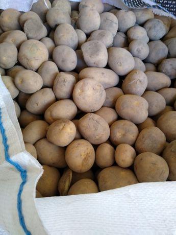 Ziemniaki Melody, Vineta, marchew paszowa, cebula z dostawą