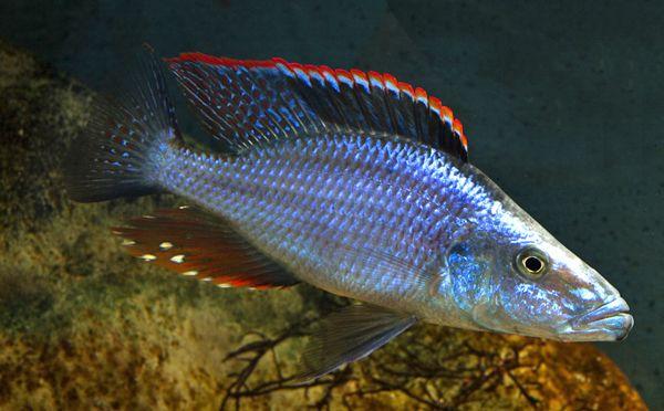 Dimidiochromis Compressiceps 14cm Pyszczak Malawi od ręki Gdańsk