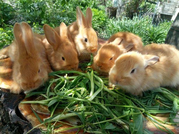 Кролик, Бургундская порода, кроль, цена за 2 месячного кролика !!