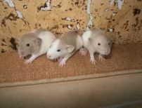 Крыски с питомника крыса дамбоухие дамбо малыши