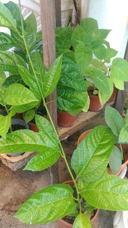 Planta Maracujá roxo