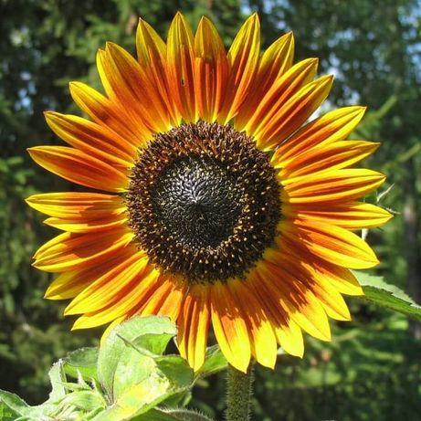 Girassol Bicolor sementes