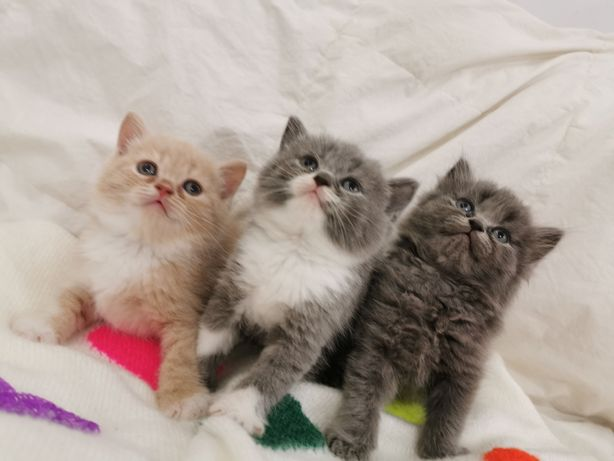 Kot Kocięta Brytyjskie z BRIT LIFE Zapraszamy do rezerwacji
