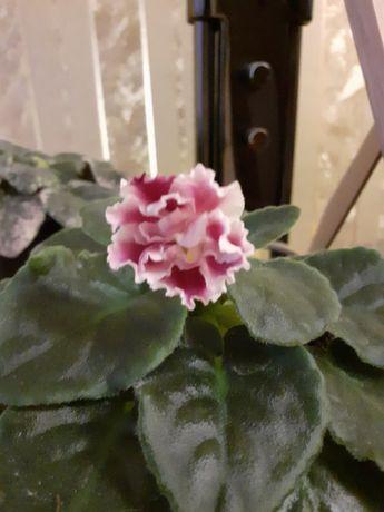Фиалка обменяю цветок