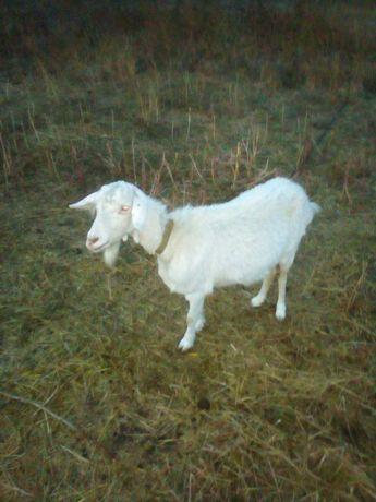 Продам дойную зааненских козу