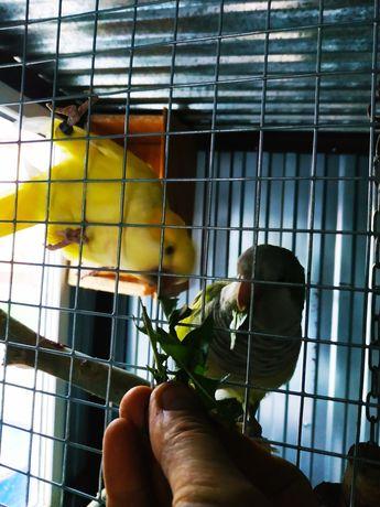 Nimfa dorosłą papuga samica lęgowa z 17 r żółta para
