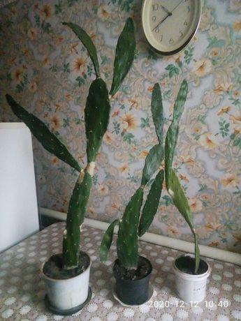 Продам кактусы большие