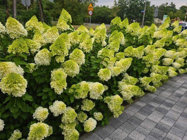Hydrangea hortensja, hortensje bukietowe Limelight - duża doniczka C5