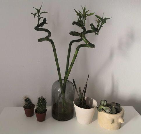 Kaktusy sukulenty oddam