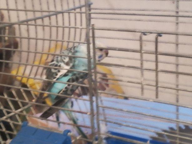 Papugi faliste ok