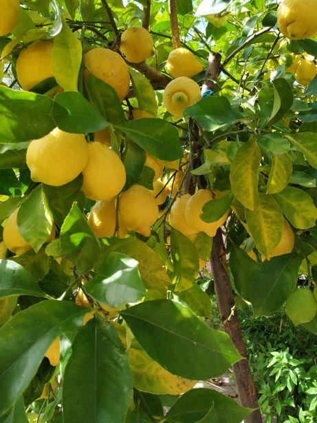 Limão / Limões biológicos de Qualidade (1 kg)