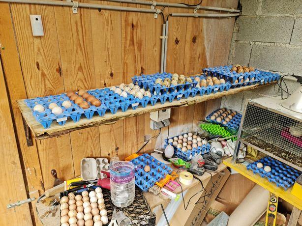 Ovos galados para incubação