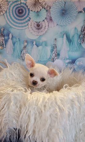 Chihuahua maravilhoso de pêlo curtinho criador legal