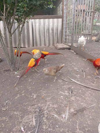 Золотой фазан молодой