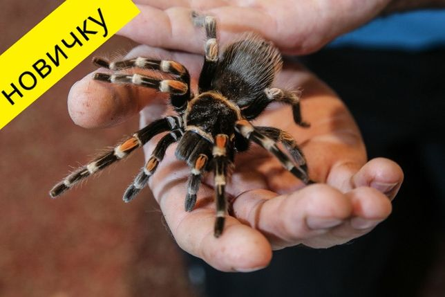 птицееды - экзотические животные для дома паук павук тарантул подарок