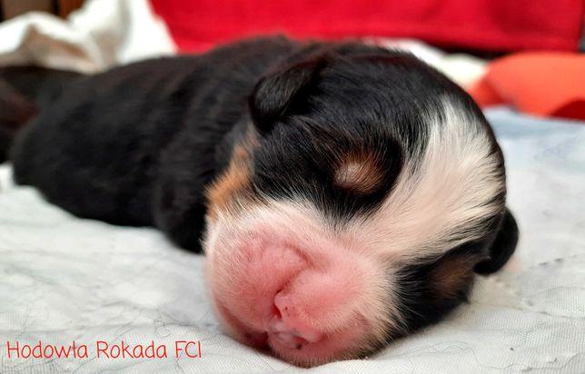 Berneński Pies Pasterski - Mamy Szczeniaczki z rodowodem ZKwP/FCI