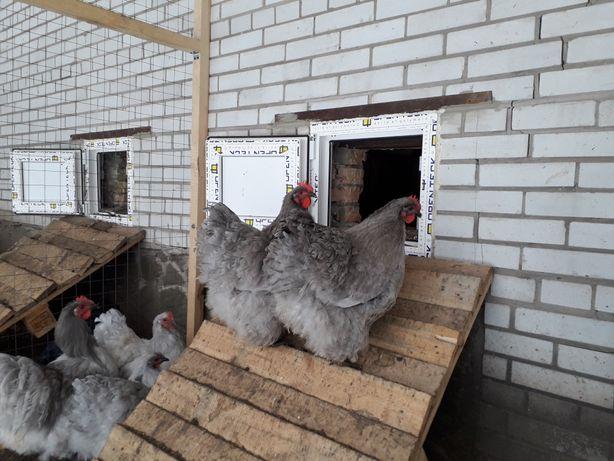 Продаю яйця курей породи ОРПИНГТОН ЛАВАНДОВИЙ