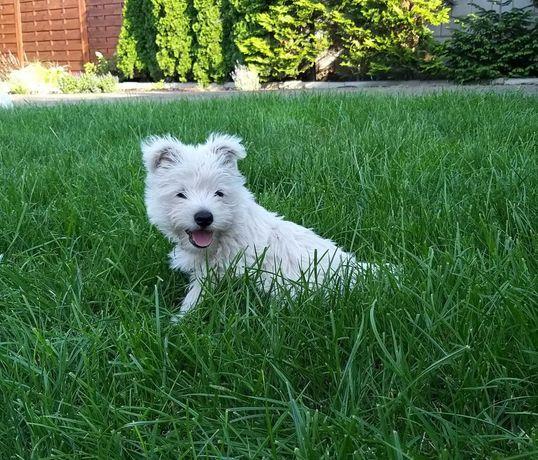 West Highland White Terrier przesłodkie szczeniaczki
