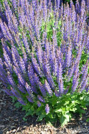 Salvia nemorosa April Night szałwia omszona April Night