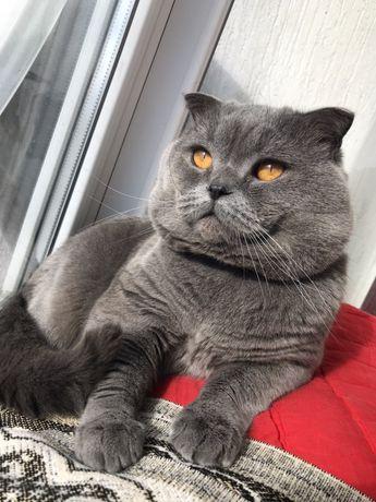 котик для вязки британец прямоухий