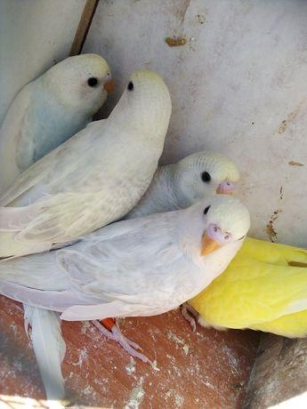 Papugi Faliste 2021 r