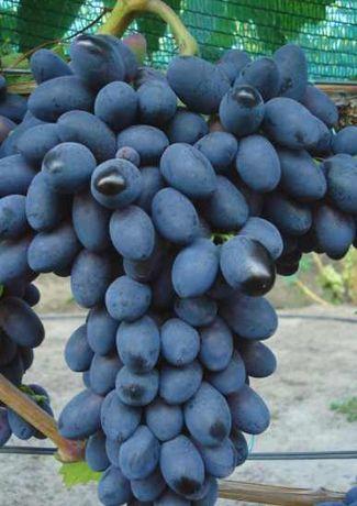 Виноград Кодрянка саженцы