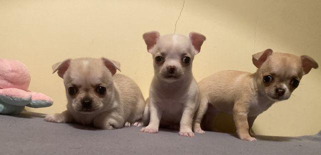 Chihuahua super pequenino com lop