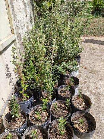 Vendo oliveiras vários tamanhos