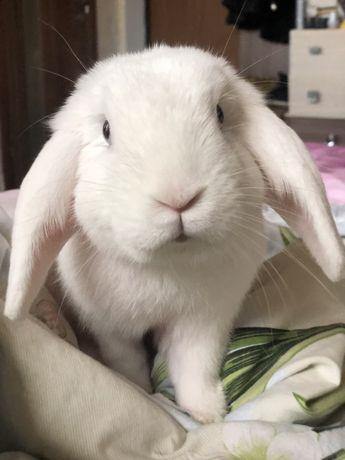 В'ЯЗКА Білосніжний висловухий кролик шукає любов