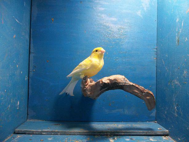 Kanarek kanarki harceński samiec