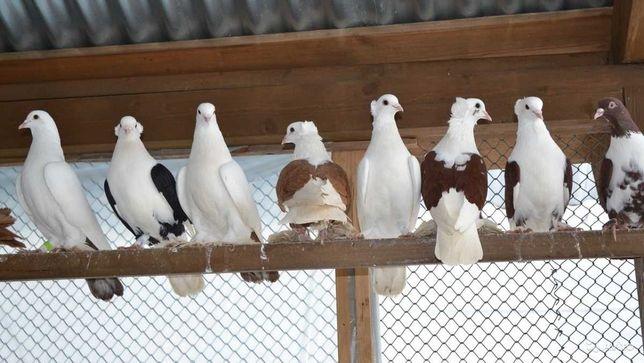 Продам голубей, Бойные, Николаевские и т.д., на свадьбы...