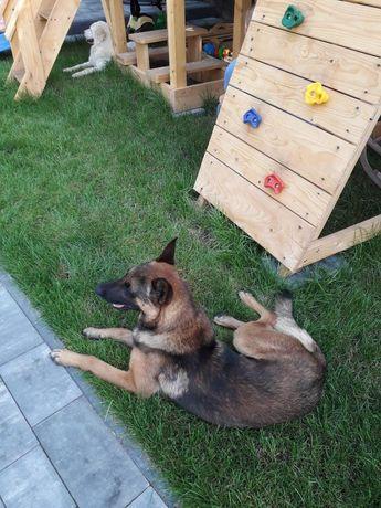 Owczarek belgijski pies