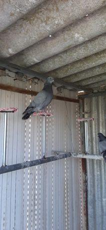 Venda de pombos para negaciar
