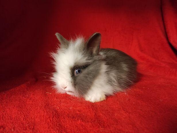 WYJĄTKOWY!!! Królik karzełek Teddy miniaturka długowłosy