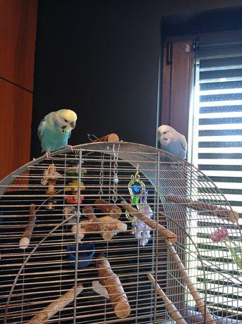 Papugi faliste z klatką