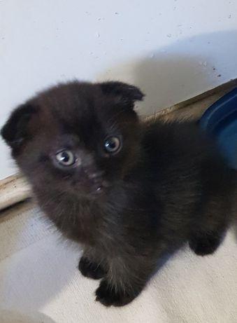 Котенок вислоухий готов к переезду в новый дом
