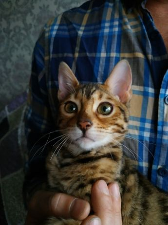 Продам бенгальского котенка - леопардика